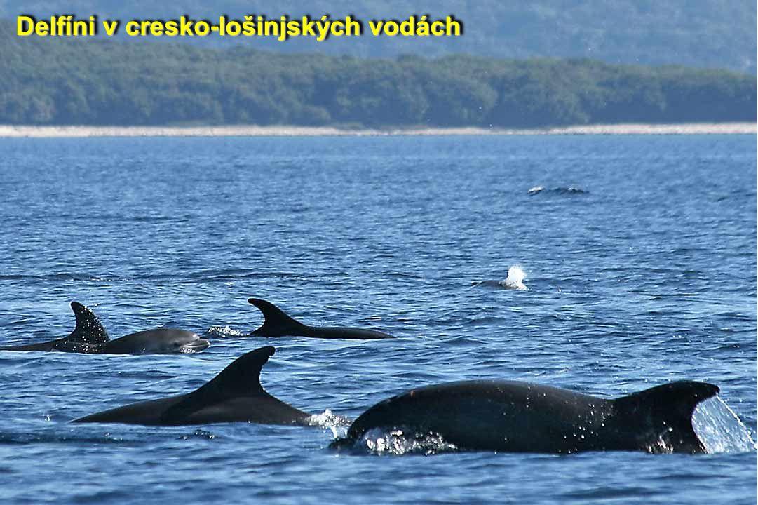 Delfíni v cresko-lošinjských vodách