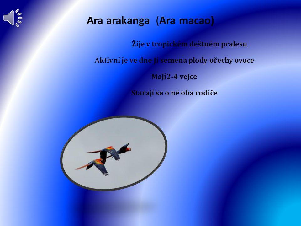 Ara arakanga (Ara macao)