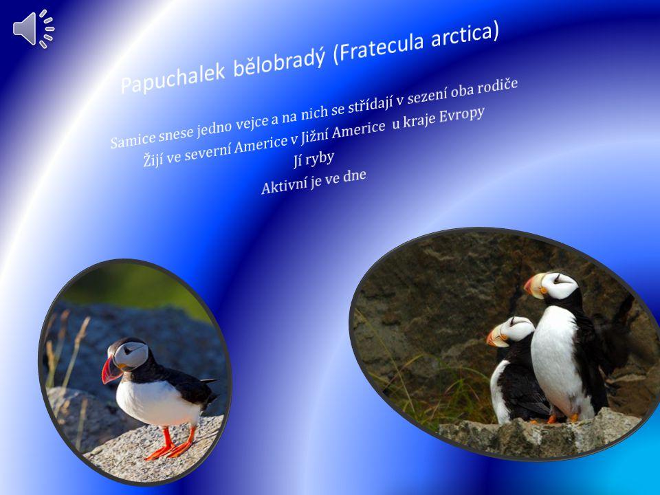 Papuchalek bělobradý (Fratecula arctica)