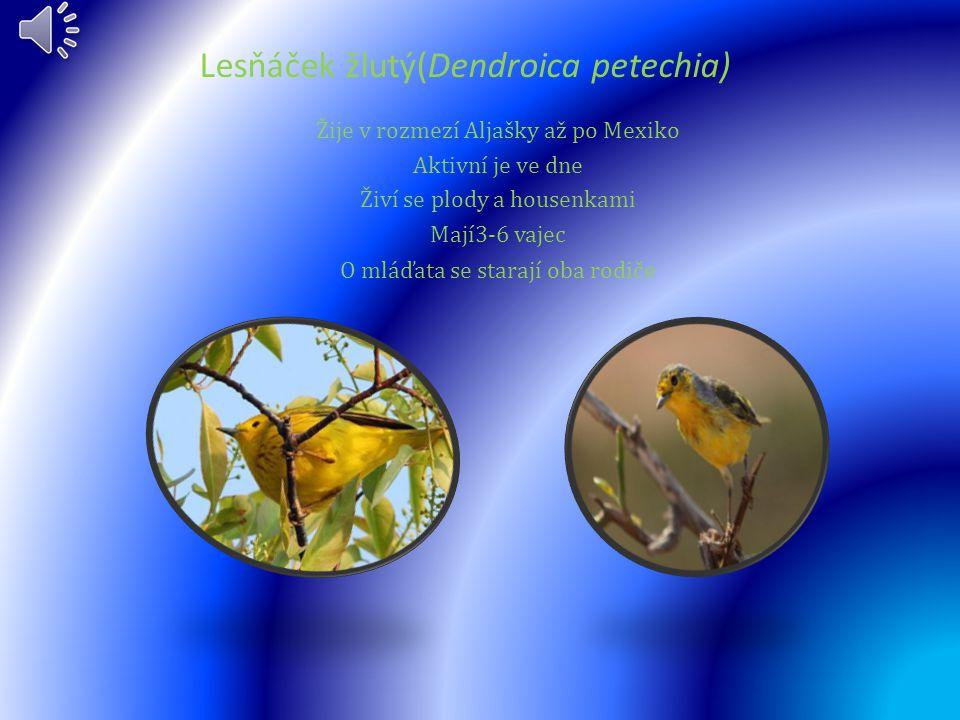 Lesňáček žlutý(Dendroica petechia)