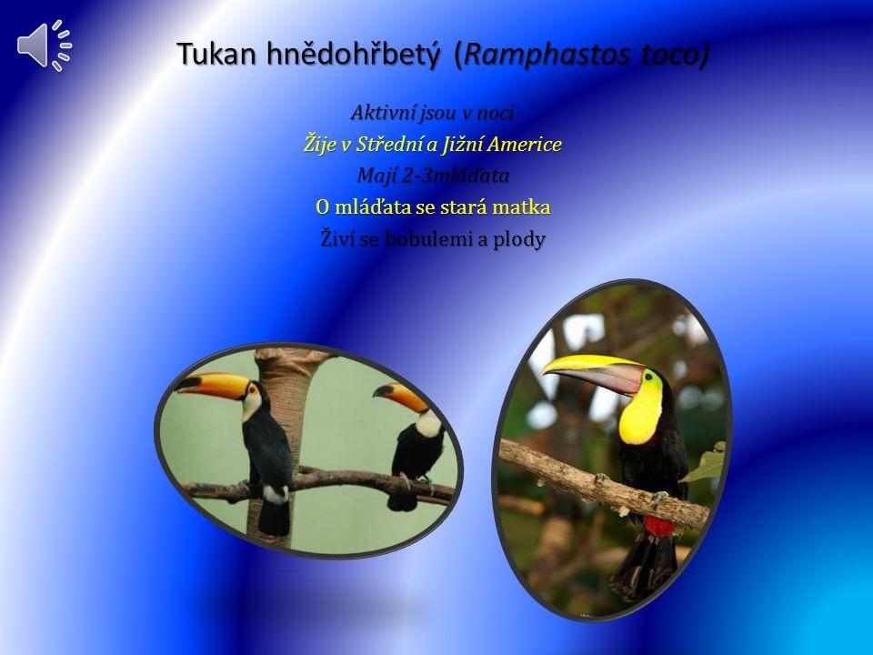 Tukan hnědohřbetý (Ramphastos toco)