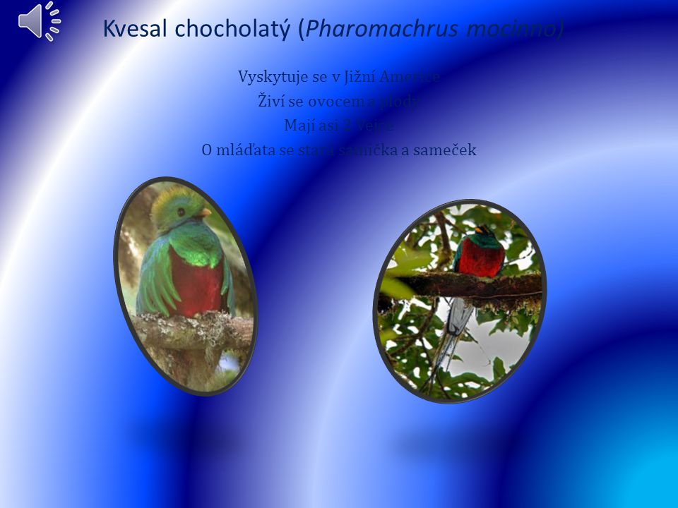 Kvesal chocholatý (Pharomachrus mocinno)
