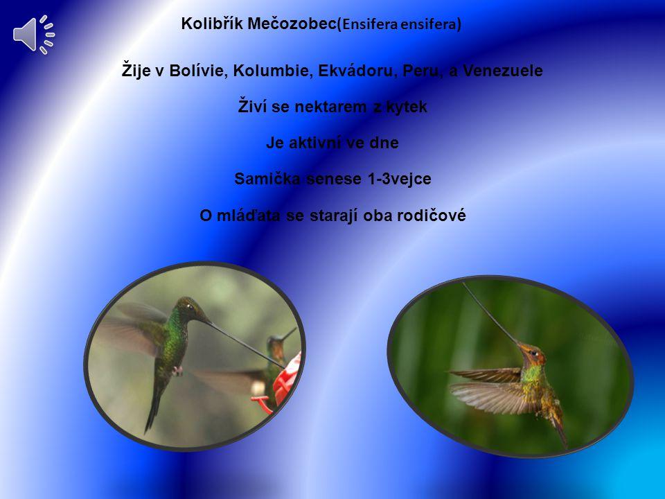 Kolibřík Mečozobec(Ensifera ensifera)