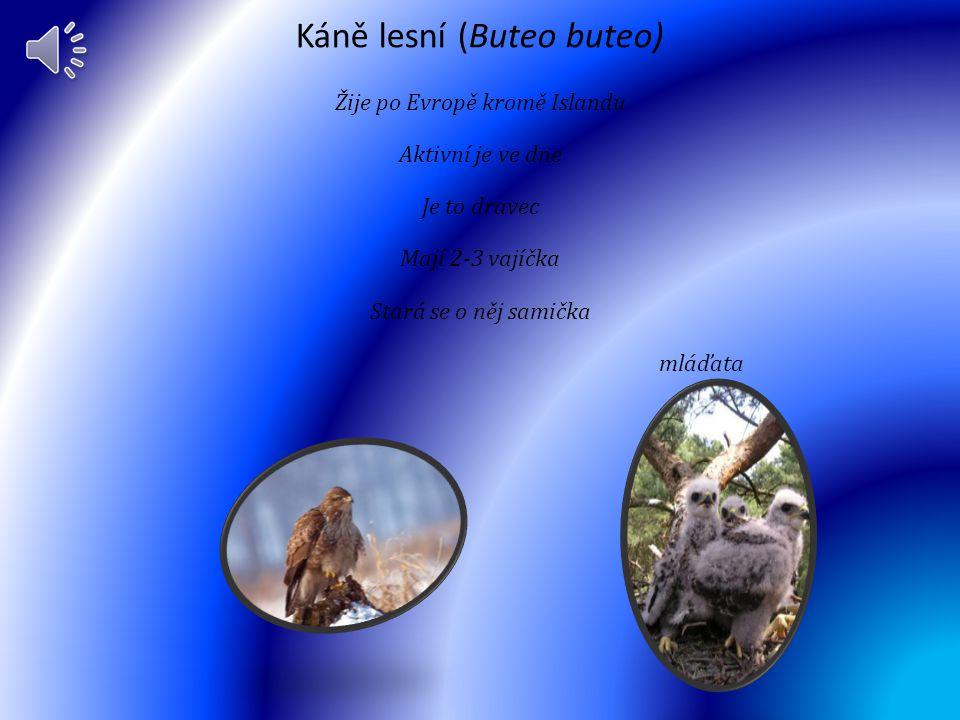 Káně lesní (Buteo buteo)