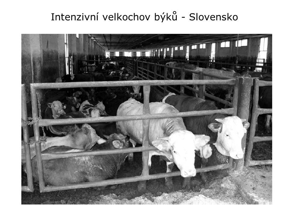 Intenzivní velkochov býků - Slovensko