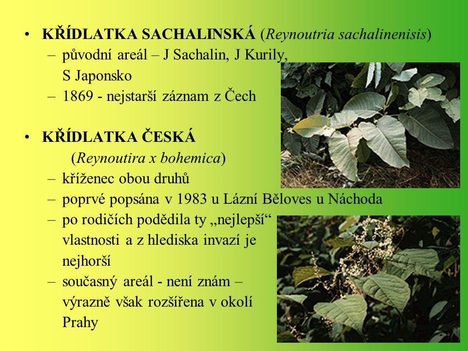 KŘÍDLATKA SACHALINSKÁ (Reynoutria sachalinenisis)
