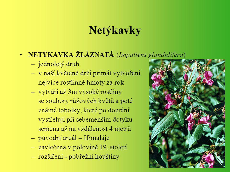 Netýkavky NETÝKAVKA ŽLÁZNATÁ (Impatiens glandulifera) jednoletý druh