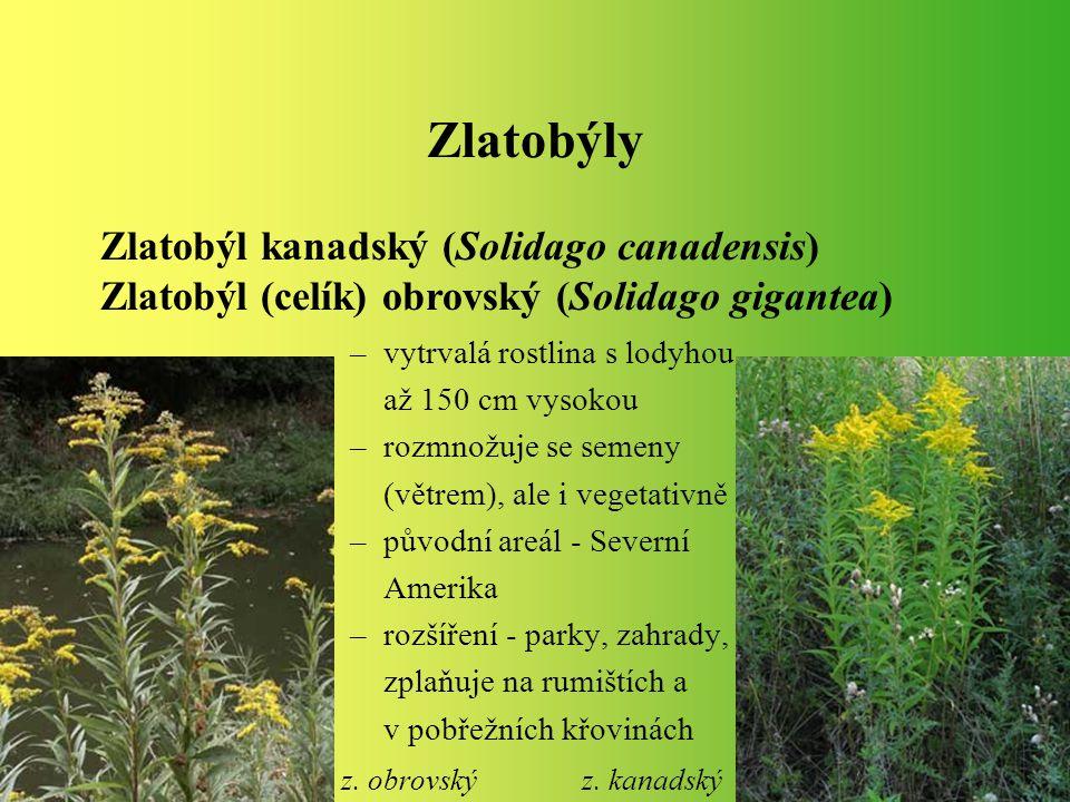 Zlatobýly Zlatobýl kanadský (Solidago canadensis) Zlatobýl (celík) obrovský (Solidago gigantea) vytrvalá rostlina s lodyhou.