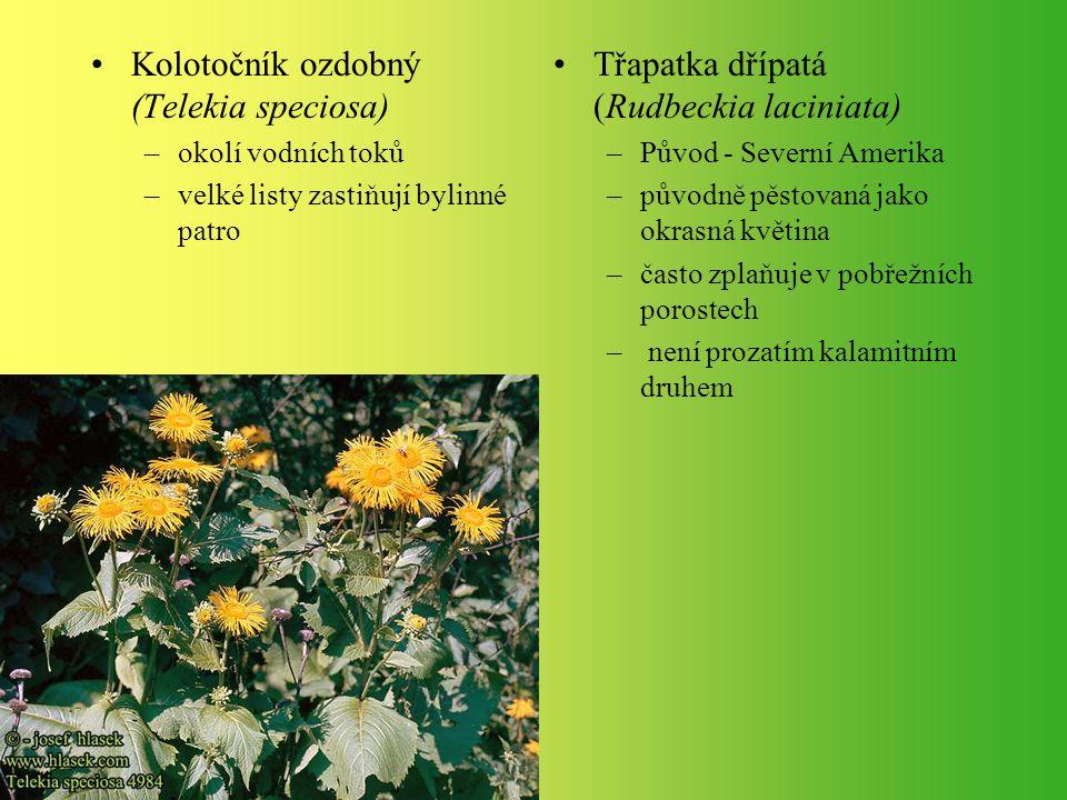 Kolotočník ozdobný (Telekia speciosa)