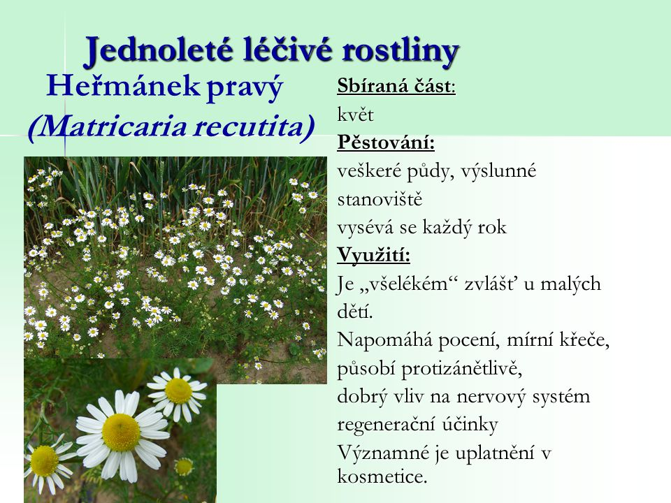 Jednoleté léčivé rostliny