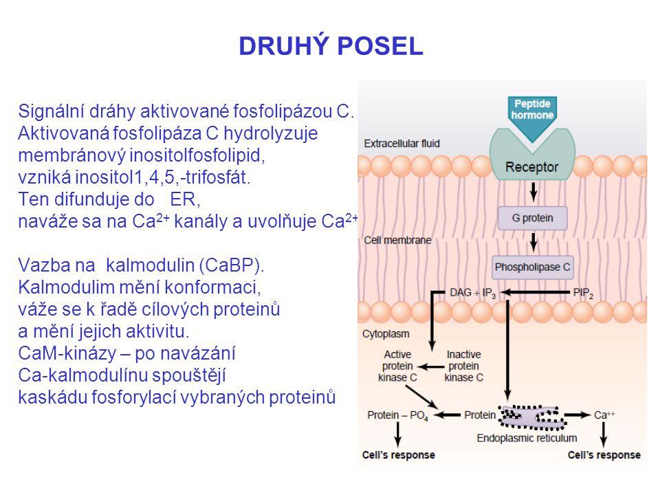 DRUHÝ POSEL Signální dráhy aktivované fosfolipázou C.