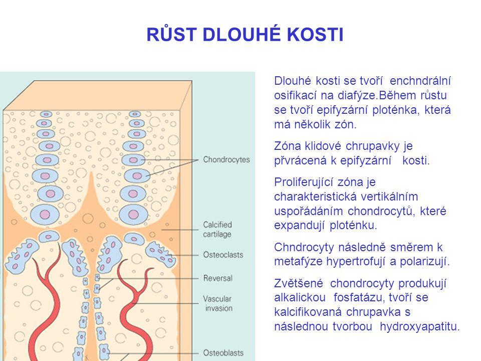 RŮST DLOUHÉ KOSTI Dlouhé kosti se tvoří enchndrální osifikací na diafýze.Během růstu se tvoří epifyzární ploténka, která má několik zón.