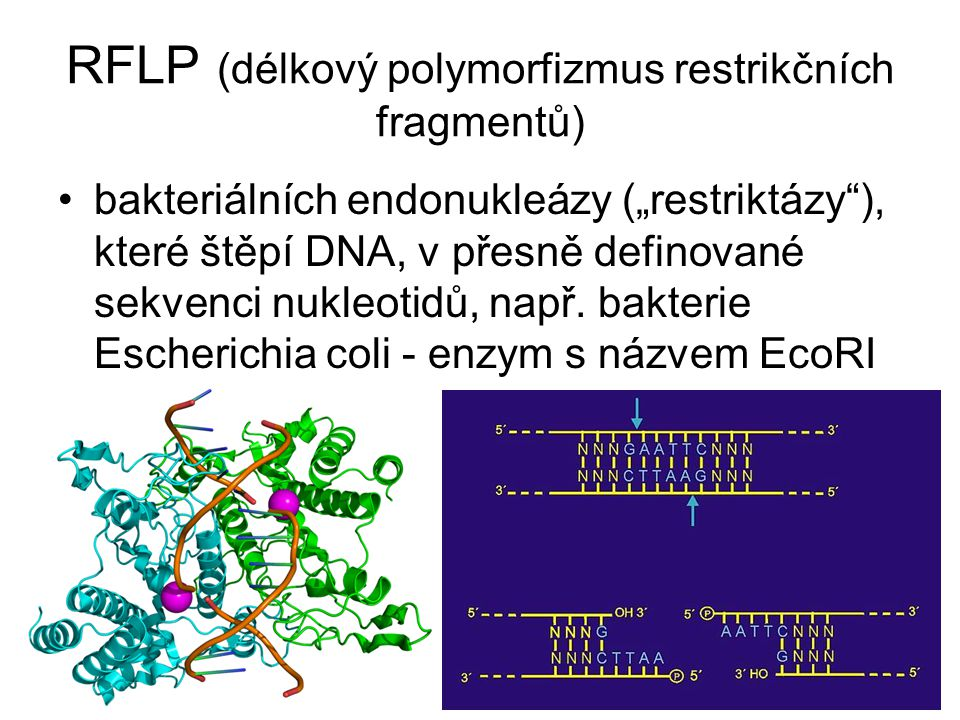 RFLP (délkový polymorfizmus restrikčních fragmentů)