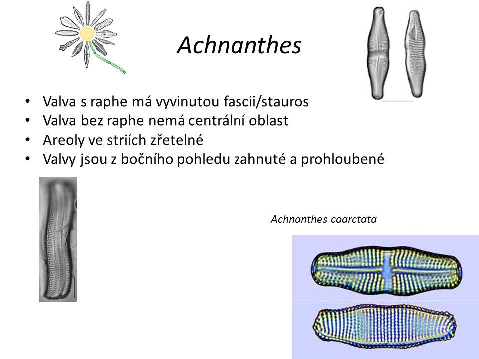 Achnanthes Valva s raphe má vyvinutou fascii/stauros