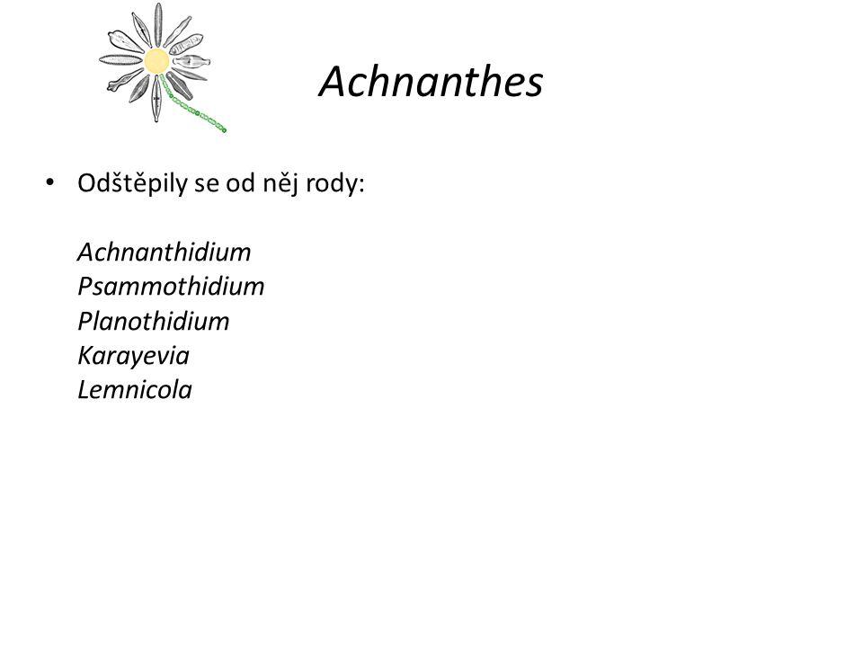 Achnanthes Odštěpily se od něj rody: Achnanthidium Psammothidium