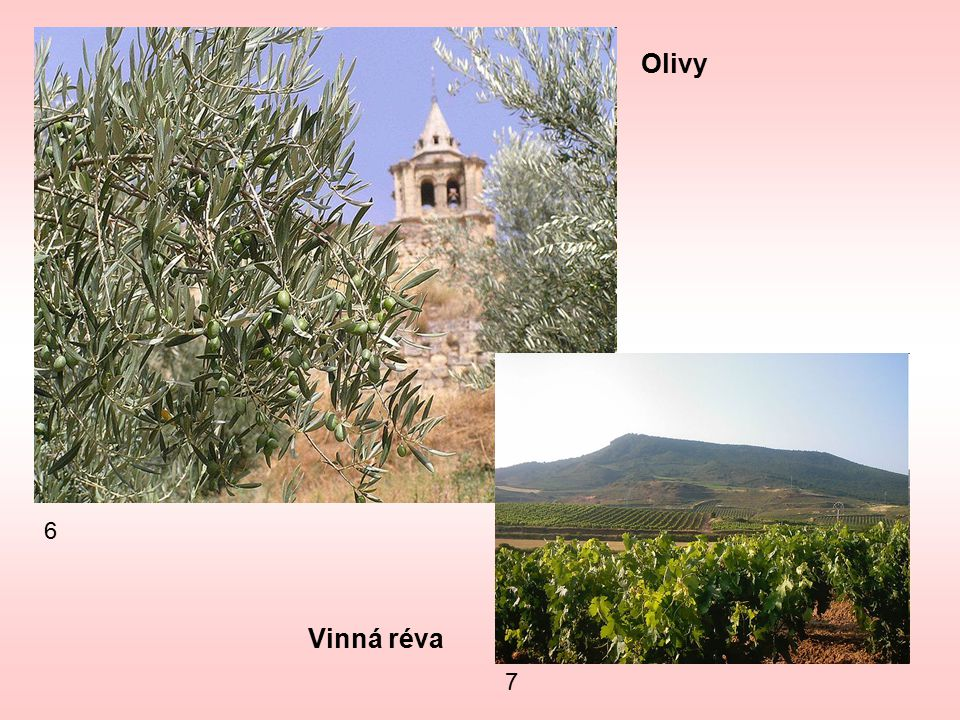 Olivy 6 Vinná réva 7