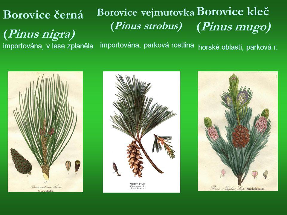 Borovice černá (Pinus nigra) importována, v lese zplaněla