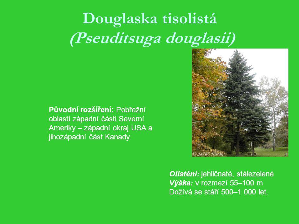 Douglaska tisolistá (Pseuditsuga douglasii)