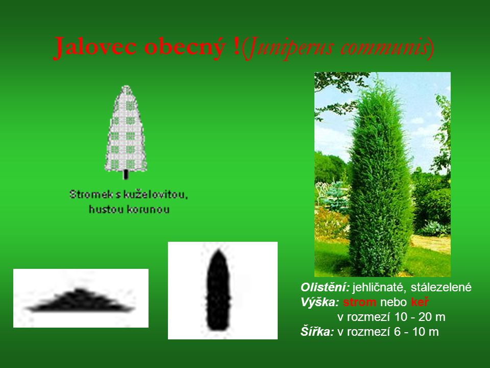 Jalovec obecný !(Juniperus communis)