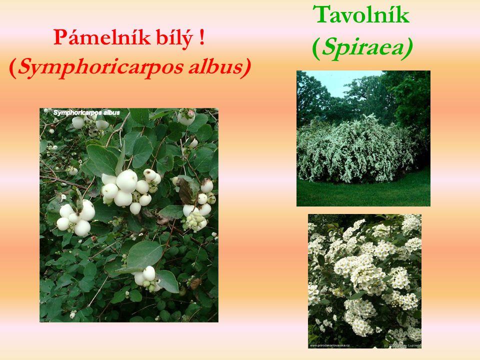 Pámelník bílý ! (Symphoricarpos albus)