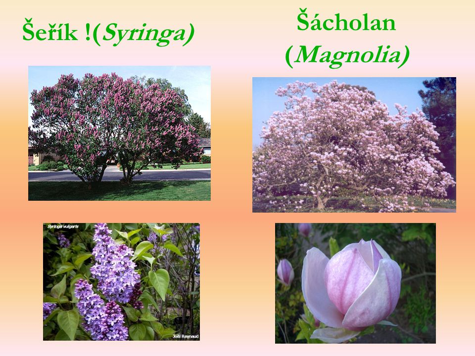 Šácholan (Magnolia) Šeřík !(Syringa)