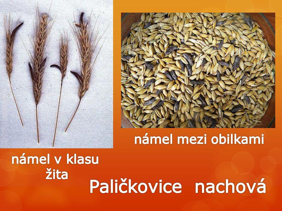 námel mezi obilkami námel v klasu žita Paličkovice nachová