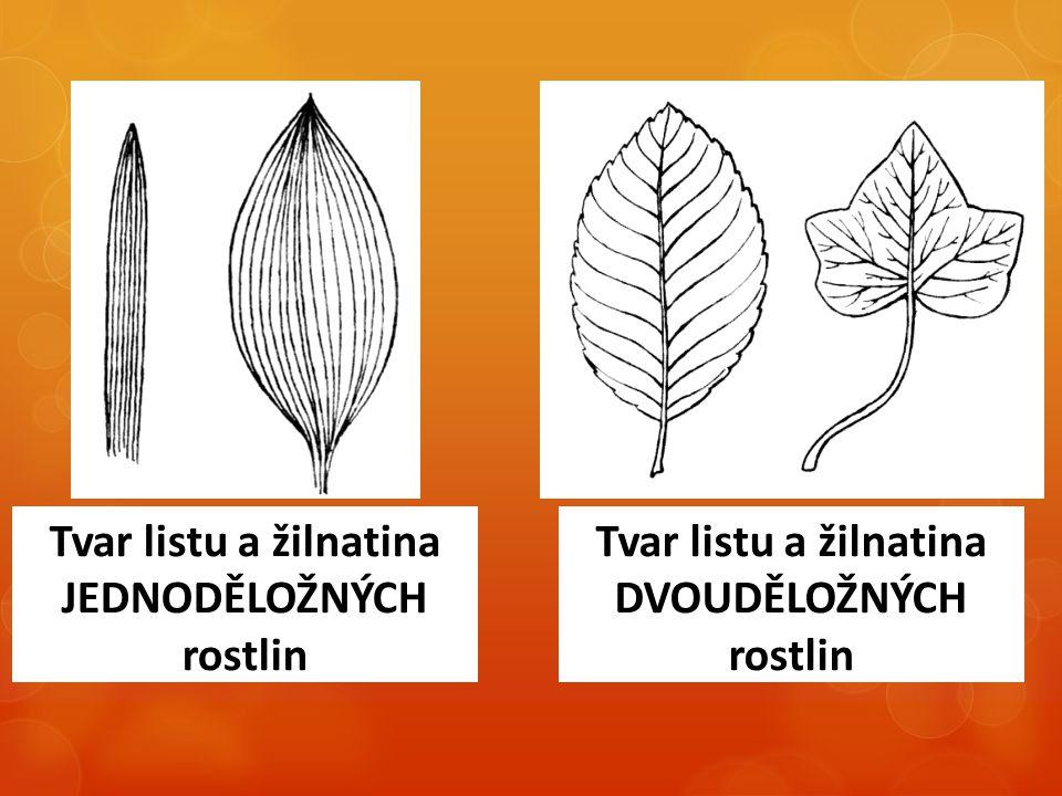 Tvar listu a žilnatina JEDNODĚLOŽNÝCH rostlin