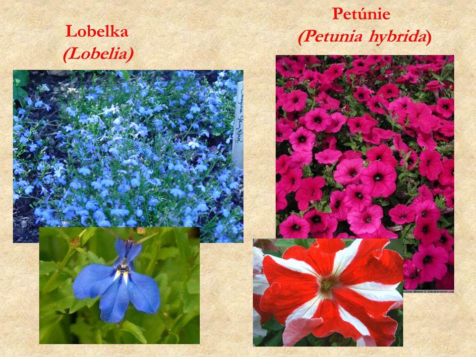 Petúnie (Petunia hybrida) Lobelka (Lobelia)