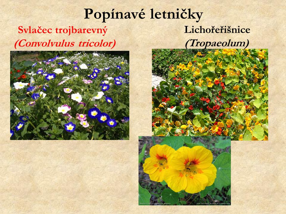 (Convolvulus tricolor)