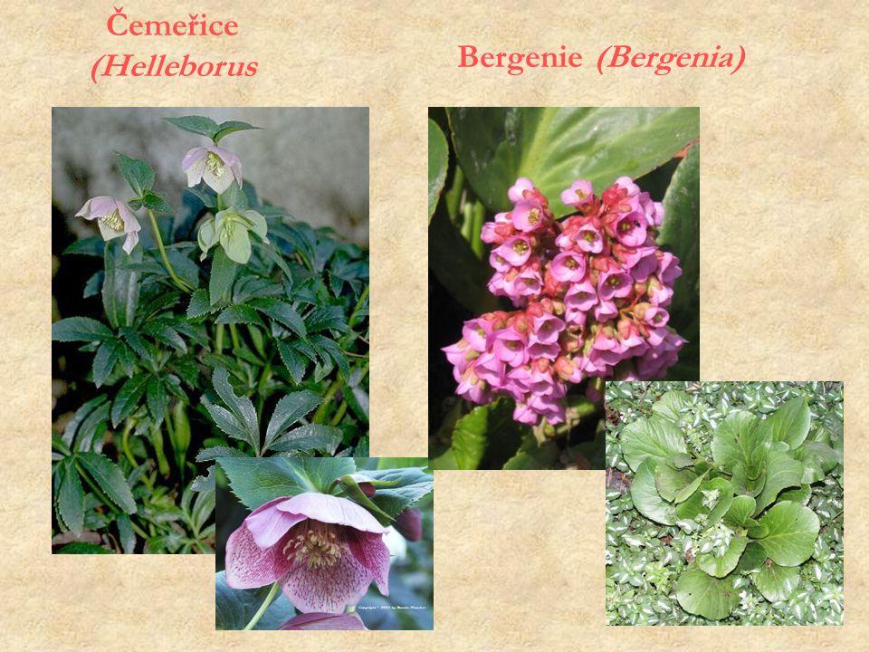 Čemeřice (Helleborus Bergenie (Bergenia)