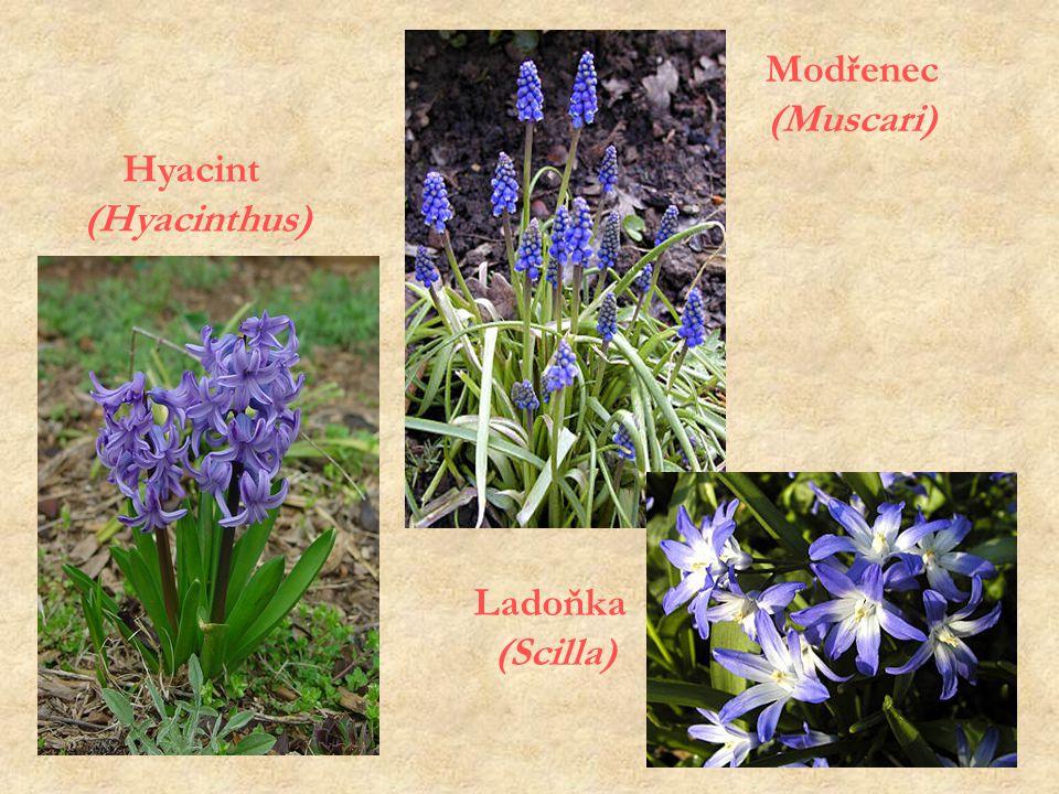 Modřenec (Muscari) Hyacint (Hyacinthus) Ladoňka (Scilla)