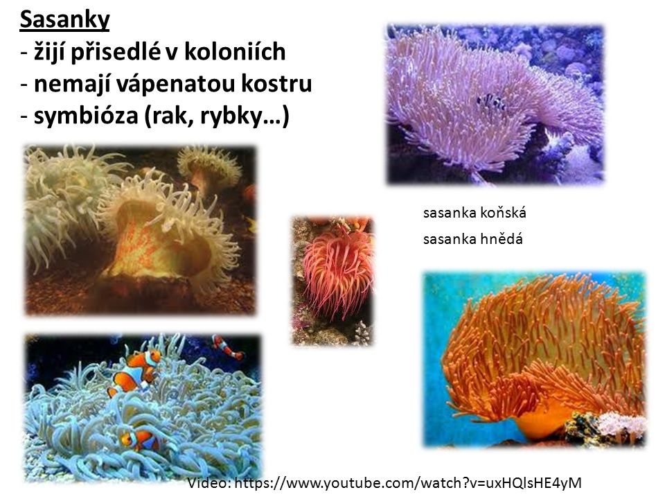 Sasanky - žijí přisedlé v koloniích - nemají vápenatou kostru - symbióza (rak, rybky…)