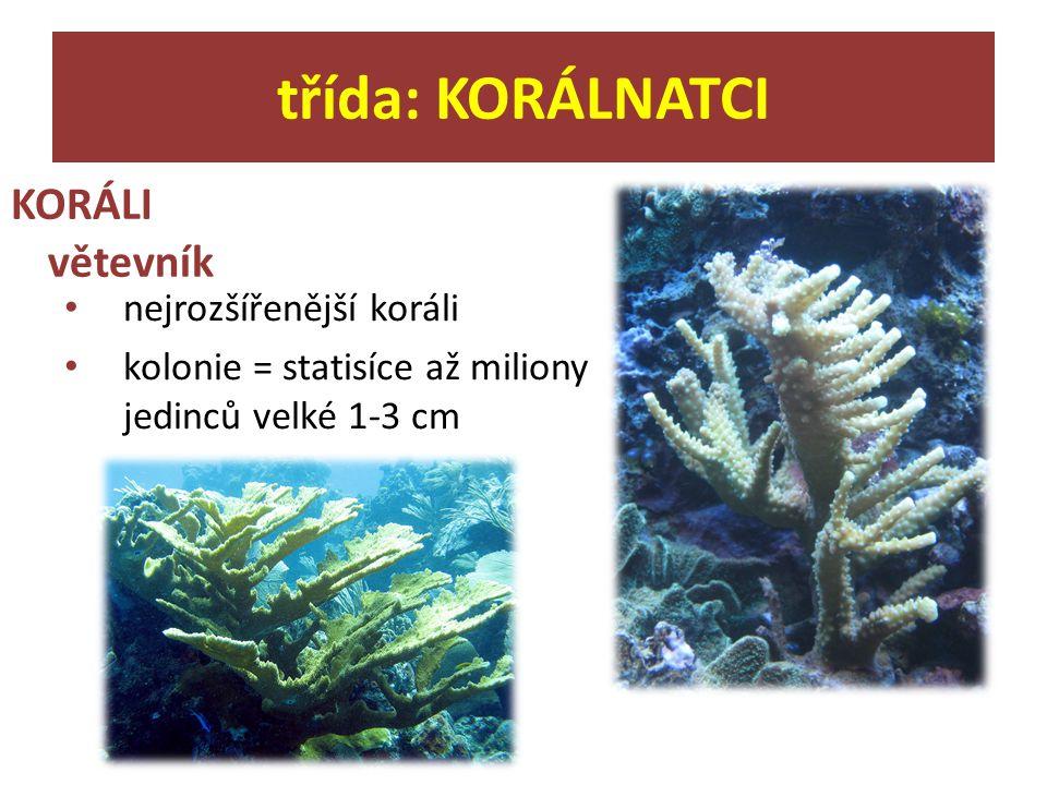 třída: KORÁLNATCI KORÁLI větevník nejrozšířenější koráli
