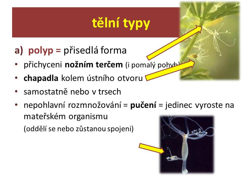tělní typy polyp = přisedlá forma