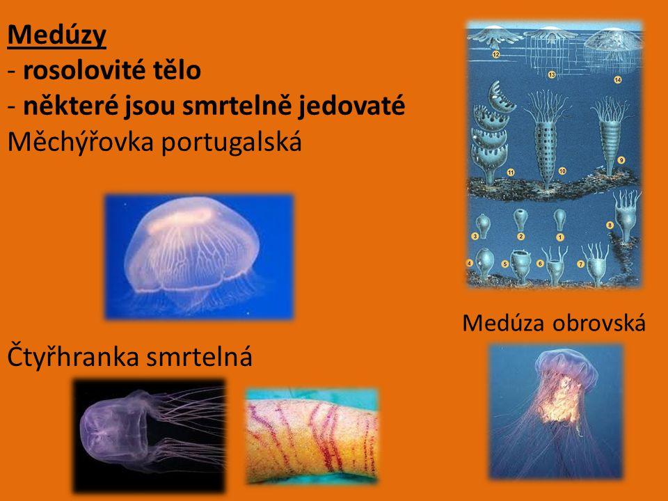 Medúzy - rosolovité tělo - některé jsou smrtelně jedovaté Měchýřovka portugalská