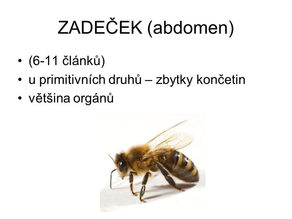 ZADEČEK (abdomen) (6-11 článků) u primitivních druhů – zbytky končetin