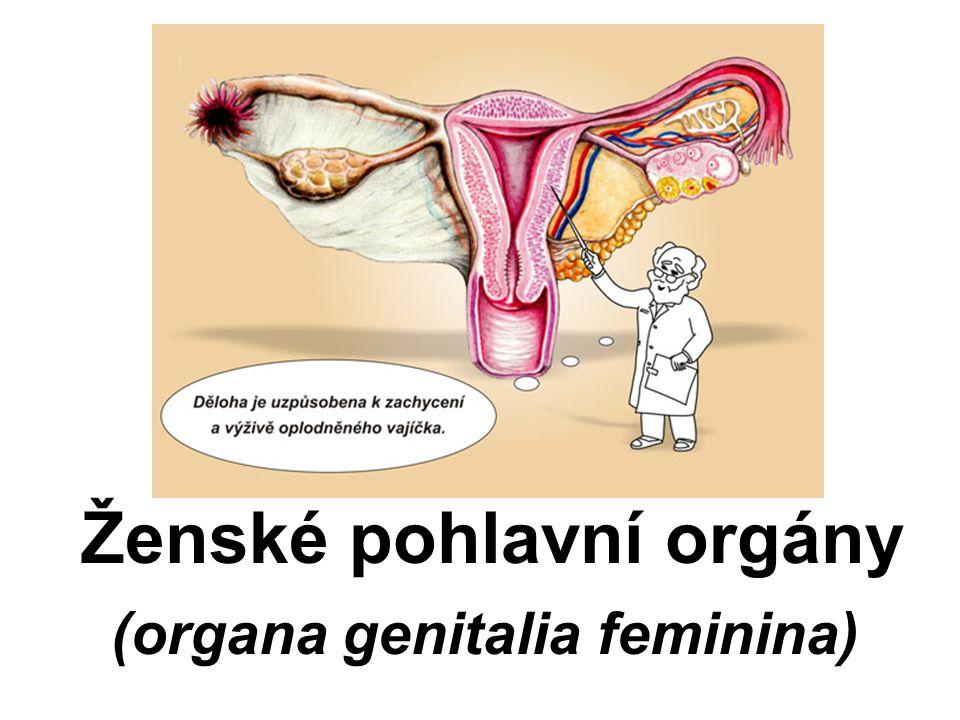 Ženské pohlavní orgány