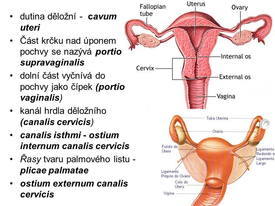 dutina děložní - cavum uteri
