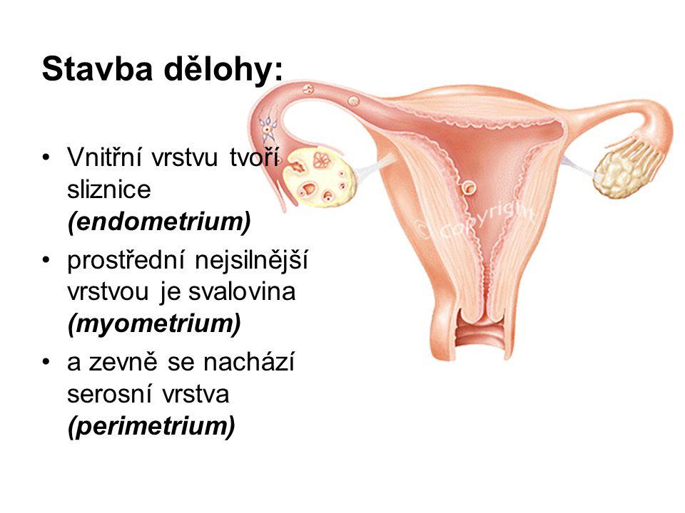 Stavba dělohy: Vnitřní vrstvu tvoří sliznice (endometrium)
