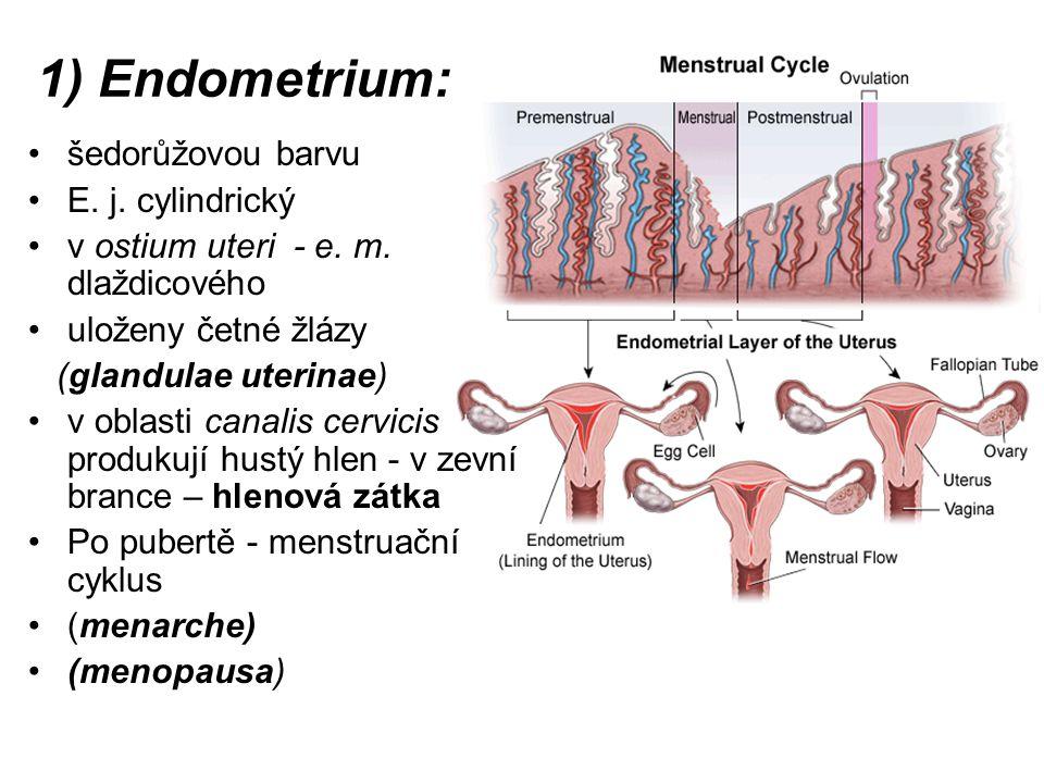1) Endometrium: šedorůžovou barvu E. j. cylindrický
