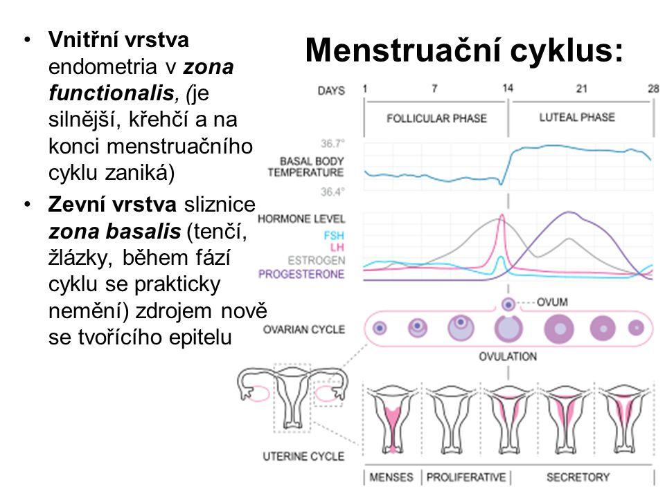 Vnitřní vrstva endometria v zona functionalis, (je silnější, křehčí a na konci menstruačního cyklu zaniká)