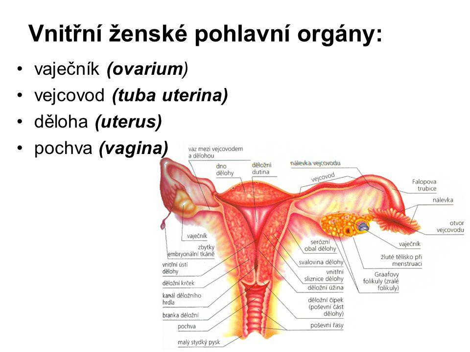Vnitřní ženské pohlavní orgány: