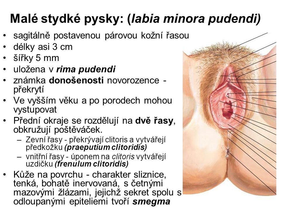 Malé stydké pysky: (labia minora pudendi)