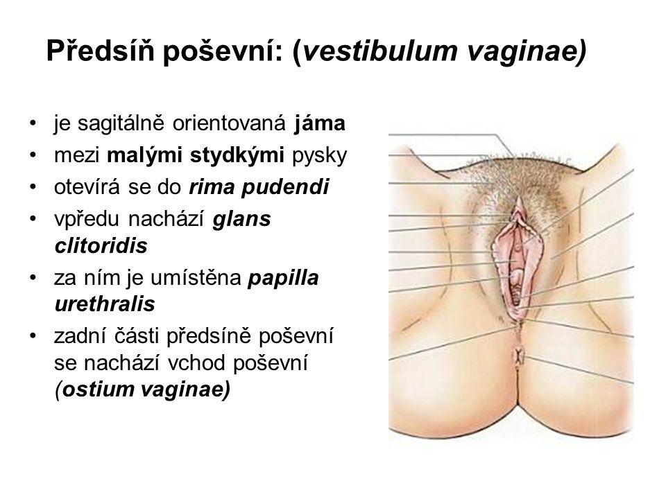 Předsíň poševní: (vestibulum vaginae)