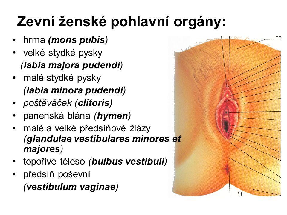 Zevní ženské pohlavní orgány: