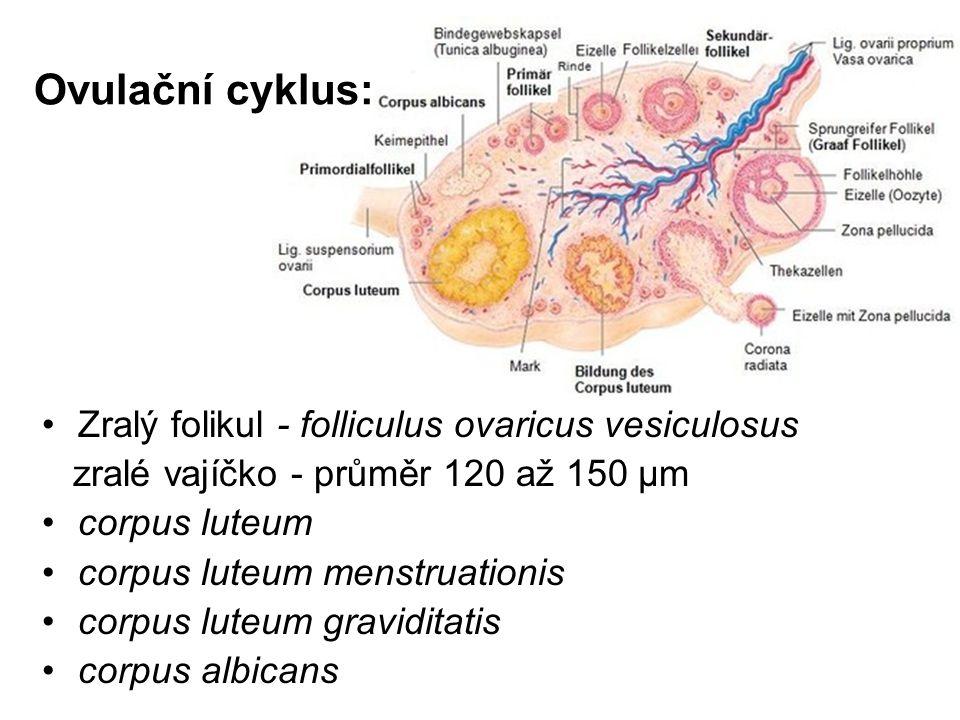 Ovulační cyklus: Zralý folikul - folliculus ovaricus vesiculosus