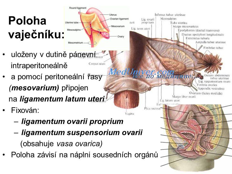 Poloha vaječníku: uloženy v dutině pánevní intraperitoneálně