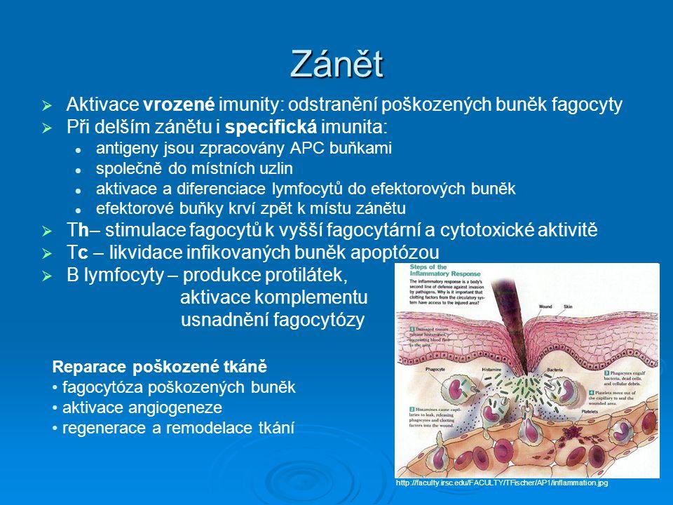 Zánět Aktivace vrozené imunity: odstranění poškozených buněk fagocyty