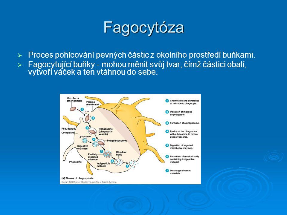 Fagocytóza Proces pohlcování pevných částic z okolního prostředí buňkami.