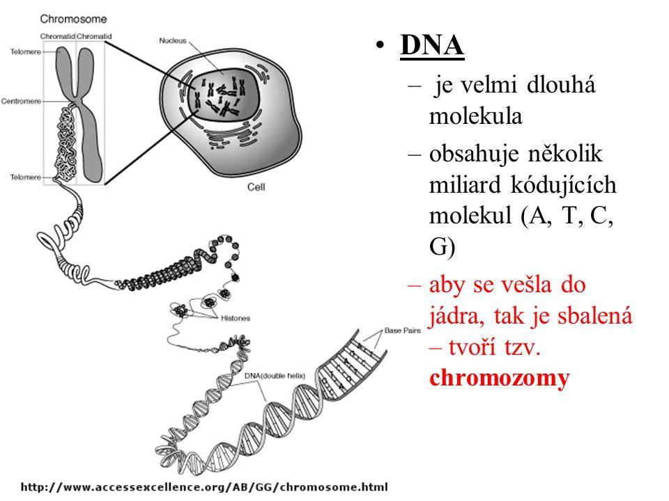 DNA je velmi dlouhá molekula